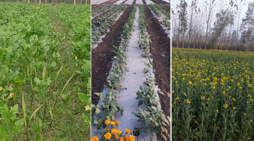 Multi-cropping, Relay cropping